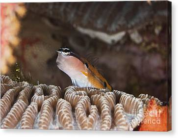 Clown Blenny On Some Coral, Papua New Canvas Print by Terry Moore
