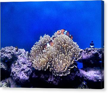 Clown Fish Resting Canvas Print