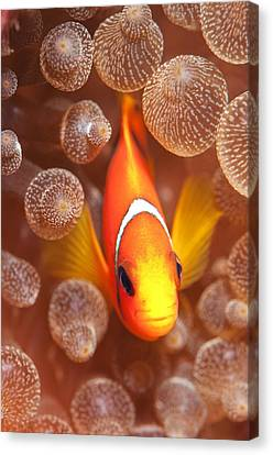 Clown Fish Canvas Print - Clownfish In Sea Anemone by Louise Murray