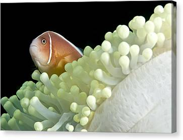 Clown Fish Canvas Print - Clownfish In Sea Anemone by Matthew Oldfield