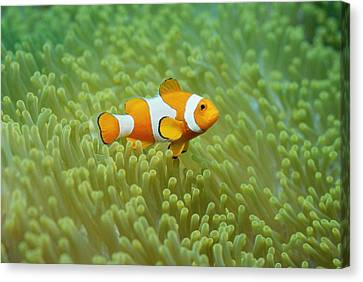 Clownfish Swimming Underwater Canvas Print by Gerald Nowak