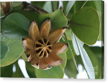 Clusia Major -  Autograph Tree Canvas Print by Sharon Mau