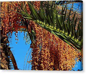 Canvas Print featuring the photograph Cluster Of Dates On A Palm Tree  by Alexandra Jordankova