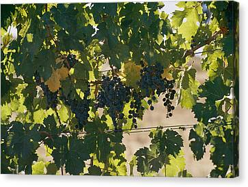 Clusters Of Grapes Hanging From Vines Canvas Print by Michael S. Lewis