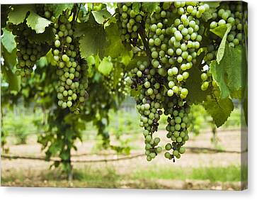 Clusters Of Grapes On The Vine At Fall Canvas Print by James Forte