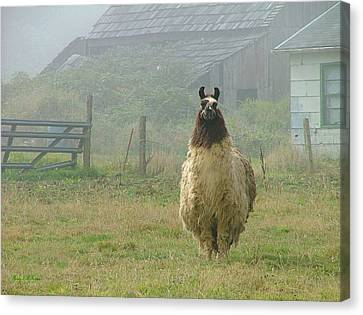 Canvas Print featuring the photograph Coast Llama by Wendy McKennon
