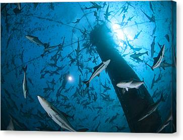 Cobia Inside A Submerged Deepwater Cage Canvas Print by Brian J. Skerry
