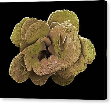 Coccoliths, Sem Canvas Print by Steve Gschmeissner