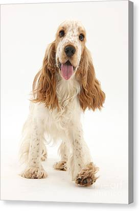 Cocker Spaniel Canvas Print by Mark Taylor