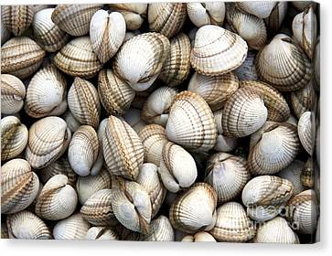 Cockle Shell Background Canvas Print by Jane Rix