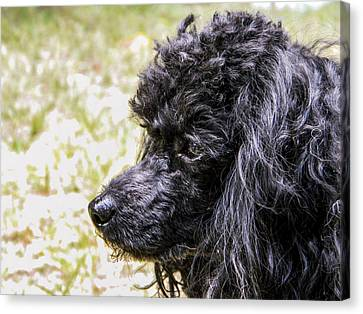 Canvas Print featuring the photograph Coco Poodle by Ester  Rogers