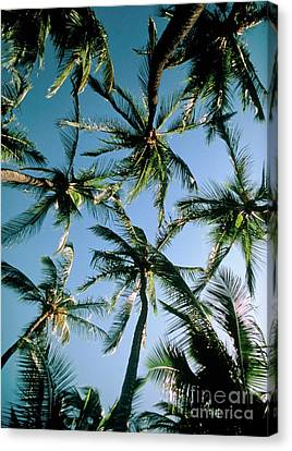 Coconut Palms Canvas Print by Magrath Photography