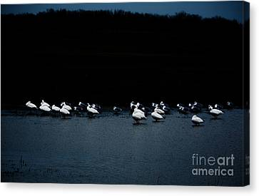 Cold Duck Canvas Print by Lisa Holmgreen