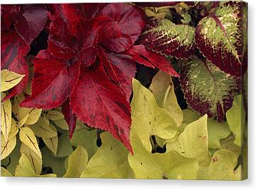 Coleus And Other Plants In A Window Box Canvas Print by Paul Damien