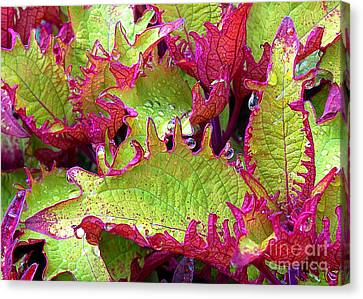 Coleus With Raindrops Canvas Print by Judi Bagwell