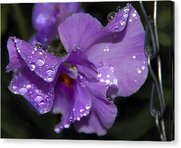 Collection Of Water Drops Canvas Print by Svetlana Sewell