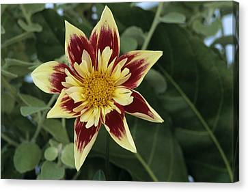 Collerette Dahlia Canvas Print by Archie Young
