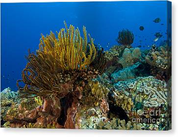 Colony Of Crinoids, Papua New Guinea Canvas Print by Steve Jones