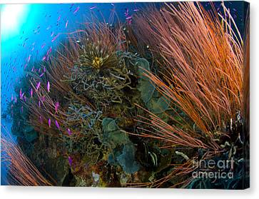 Colony Of Red Whip Fan Coral With Fish Canvas Print by Steve Jones