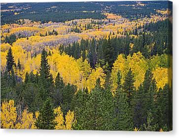 Colorado Autumn Aspens Boulder County  Canvas Print by James BO  Insogna