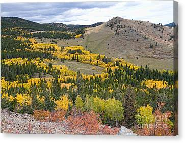 Colorado Autumn Aspens Colors Canvas Print by James BO  Insogna