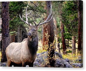 Canvas Print featuring the photograph Colorado Elk by Nava Thompson