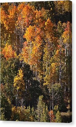 Colorado Flaming Aspen Canvas Print