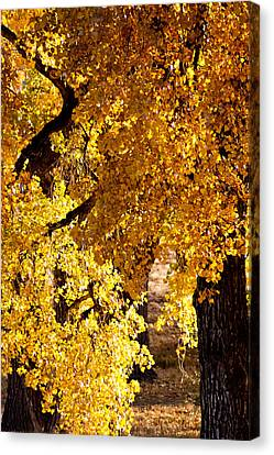Colorado Gold Canvas Print by Colleen Coccia