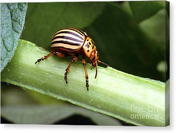 Colorado Potato Beetle Canvas Print by Science Source