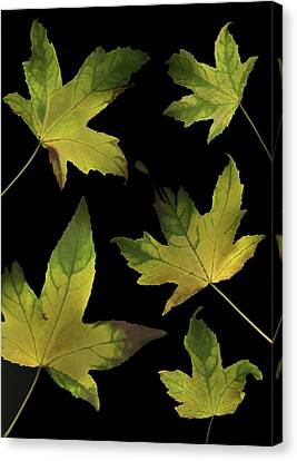 Colorful Autumn Leaves Canvas Print by Deddeda