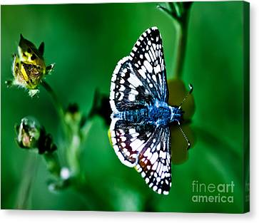 Colorful Butterfly Canvas Print by Mitch Shindelbower