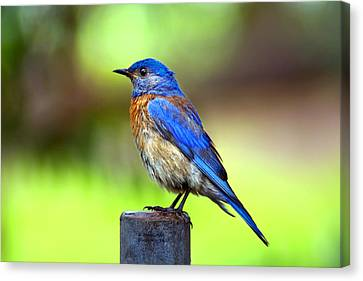 Colorful - Western Bluebird Canvas Print by James Ahn