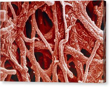 Coloured Sem Of Internal Membrane Of Hen Eggshell Canvas Print by Power And Syred