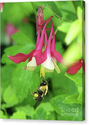 Canvas Print featuring the photograph Columbine And Bee by Michele Penner