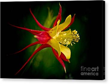 Columbine Canvas Print by Larry Carr
