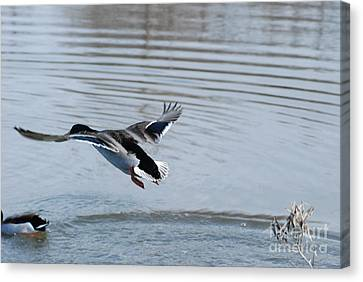 Canvas Print featuring the photograph Coming In by Mark McReynolds