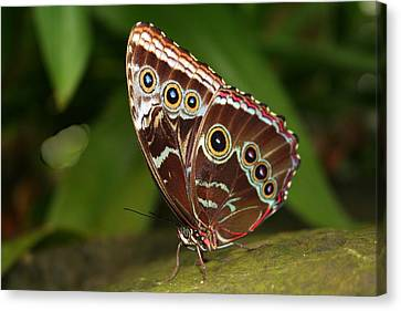 Canvas Print featuring the photograph Common Blue Morpho by Laurel Talabere