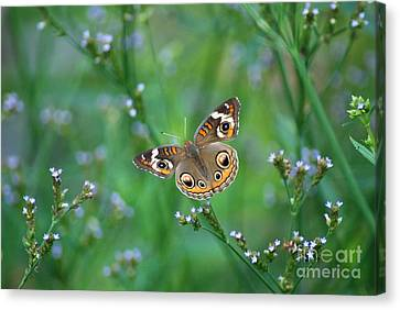 Common Buckeye Canvas Print by Kathy Gibbons