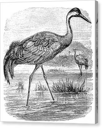 Common Crane Canvas Print by Granger