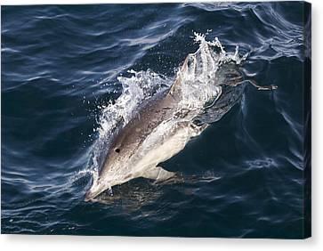 Common Dolphin Delphinus Delphis Canvas Print by Rich Reid