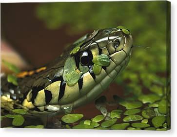 Common Garter Snake Thamnophis Sirtalis Canvas Print by Heidi & Hans-Juergen Koch