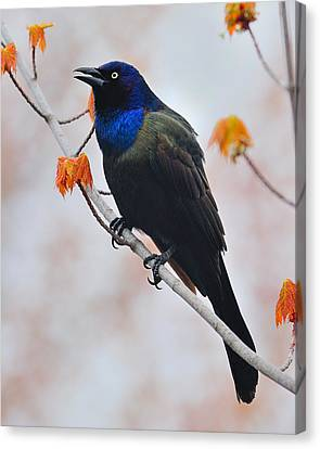 Common Grackle Canvas Print by Tony Beck