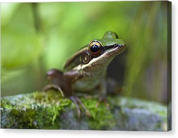 Common Greenback Frog II Canvas Print