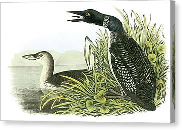 Common Loon Canvas Print by John James Audubon