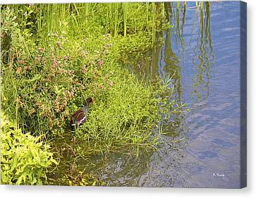 Common Moorhen At The Waters Edge Canvas Print