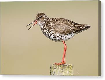 Common Redshank Tringa Totanus Calling Canvas Print