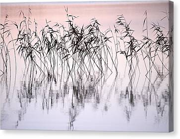 Common Reeds Canvas Print by Jouko Lehto