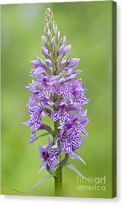 Common Spotted Orchid Canvas Print by Jacky Parker