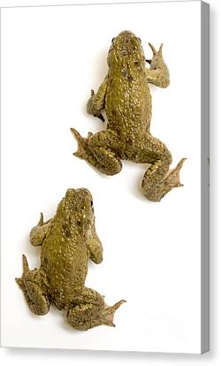 Common Toad Canvas Print by Mark Bowler and Photo Researchers