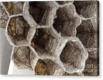 Common Wasp Larva Canvas Print by Ted Kinsman